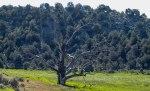 The Tree of Gondor